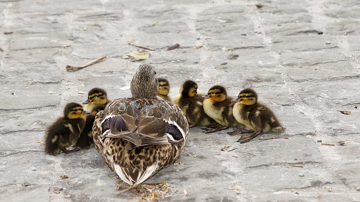 brown-and-white mallard duck with ducklings