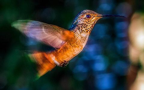 brown hummingbird flying during daytime
