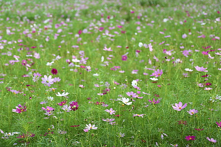 field of pink and white petaled flowers