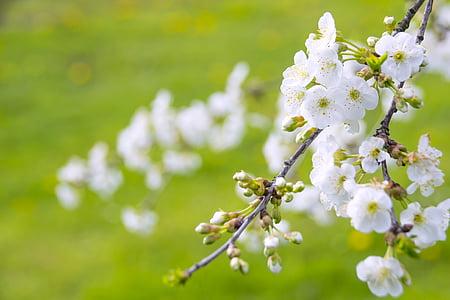 white cherry blossoms in closeup photo