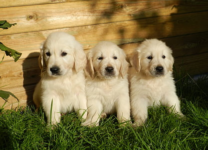 three short-coated white puppies on grass field