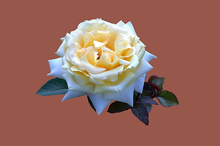 yellow and white rose