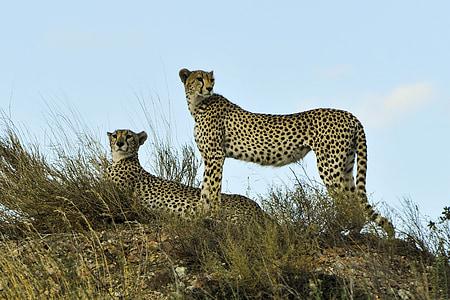 two cheetah on grass field under blue calm sky