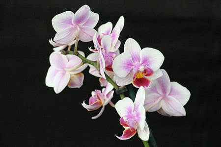 close up photo of purple-and-white moth orchids in bloom