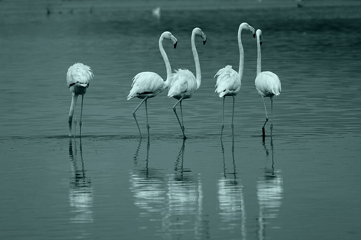 grayscale photo of five flamingos on body of water