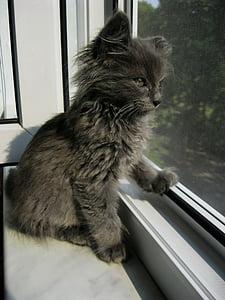 gray kitten looking outside the window