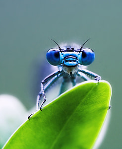 macro photography of blue damselfly perched on green leaf