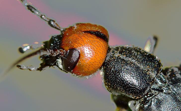 macro photo of black and orange false bombardier beetle