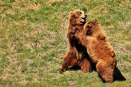 two brown bears on green grass lawn during daytime