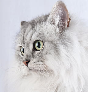 closeup photo of long-haired whit ad gray cat