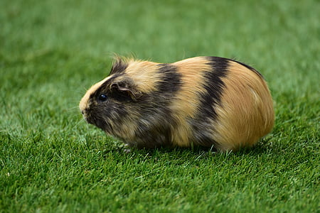 close up photo of brown guinea pig
