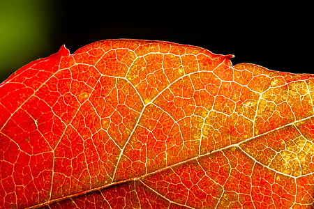 close up photography of red leaf