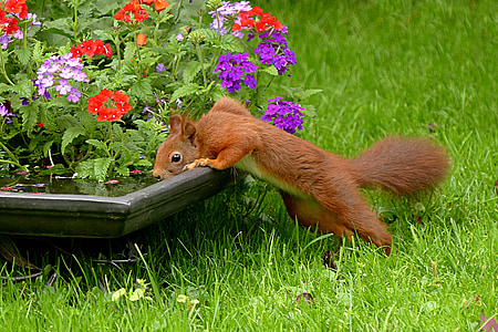 red squirrel drinking water on a pot