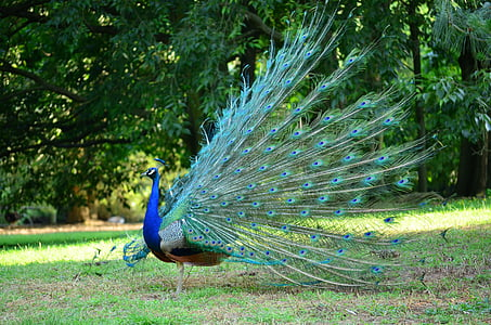 multicolored peacock on grass land