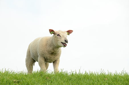 beige sheep on green grass at daytime