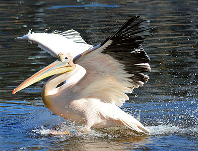 white and black pelican