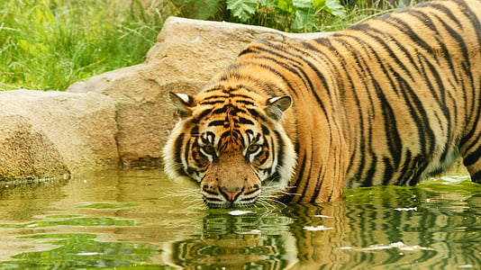 tiger standing on body of water near plants