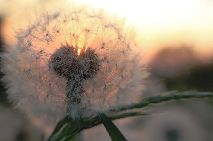 white dandelion in focus photography