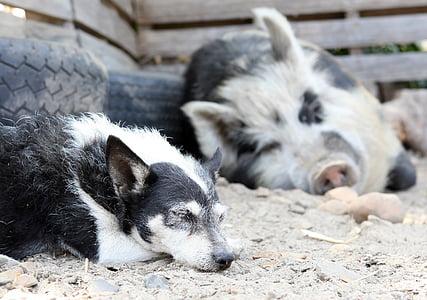 black and white dog near white and black pig