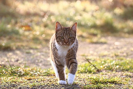 walking grey cat