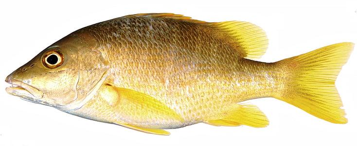 brown tilapia