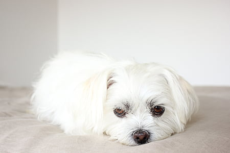white Maltese puppy lying on mat