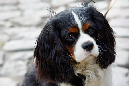 selective focus photography of King Charles Cavaliers Spaniel