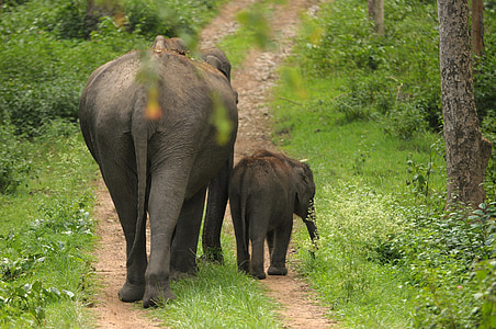 two elephants on dirt path