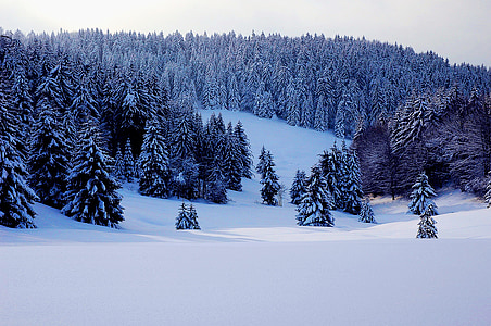 snow covered field and pine trees under white sky during daytime