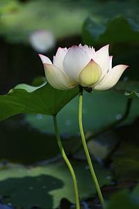 white-and-pink lotus