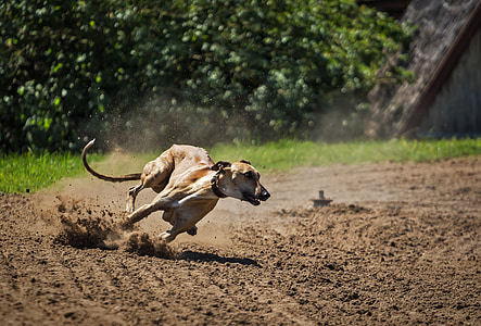 adult tan dog running on dirt pathway during daytime