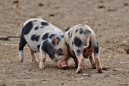 two pigs standing on ground