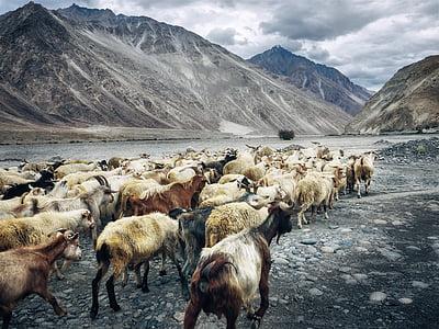 herd of goat walking near mountain at daytime