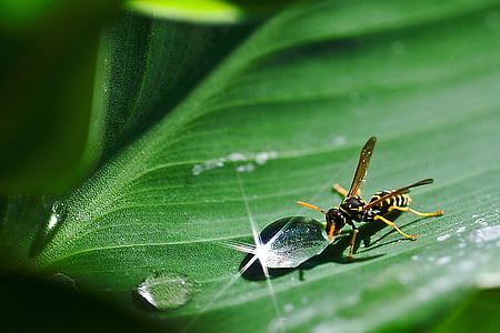 yellow jacket drinking water on green leaf