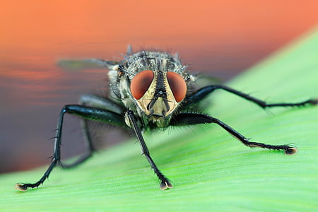black housefly