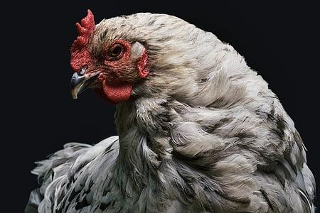closeup photo of gray and white hen
