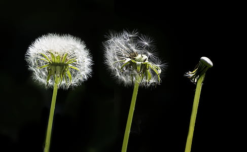 three white dandelion flowers
