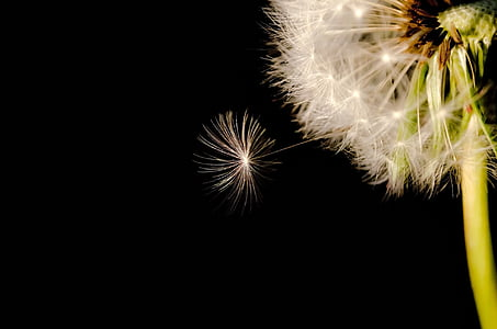 dandelion flower in micro photography