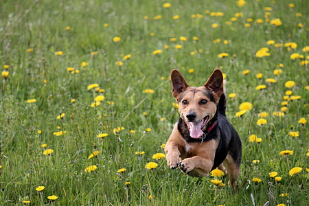 brown and black dog running on yellow flowers during daytime