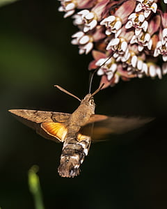 brown hummingbird moth under white flower