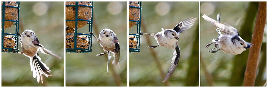 white titmouse bird collage