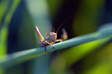 close-up photography of eastern lubber grasshopper on green leaf