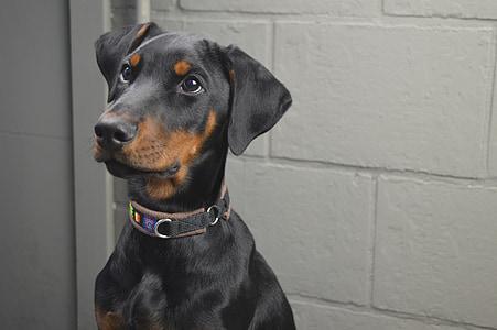 closeup photo of black and tan Doberman pinscher puppy