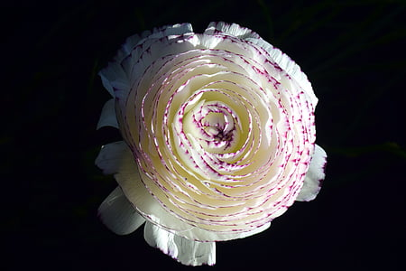 close up photography of purple and white ranunculus in bloom