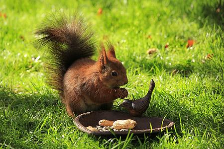 brown squirrel eating nuts