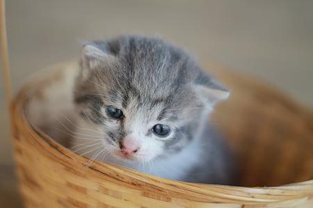 silver tabby kitten in basket
