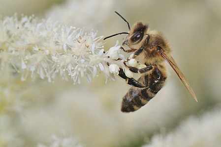 selective focus phot oof honeybee perching on white cluster flower