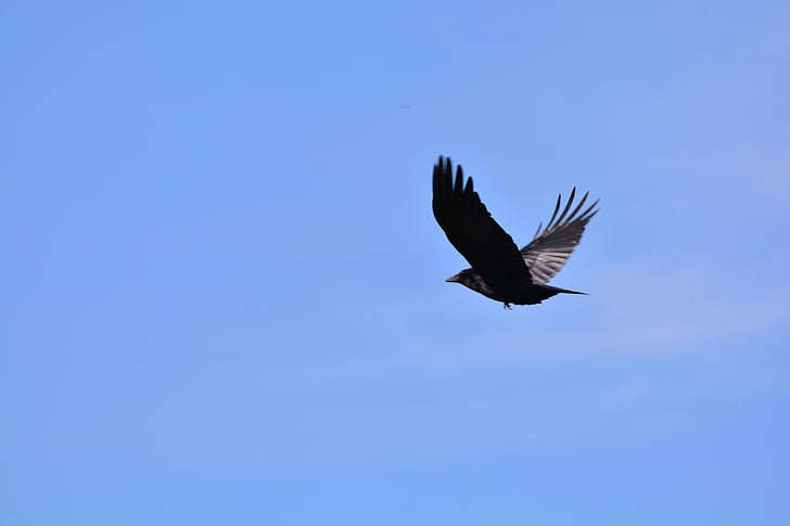 black bird flying at sky