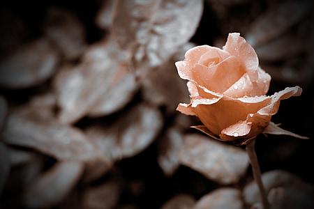 pink rose flower in bloom