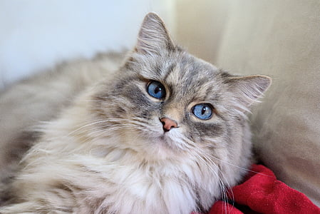 long-fur gray and white cat on red apparel